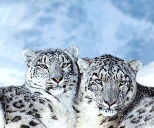 animal and snow leopard image