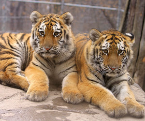cub, cubs, and tiger image