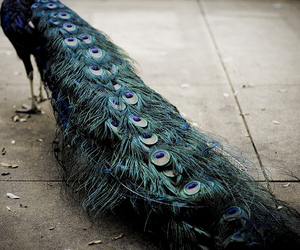 peacock, feather, and animal image