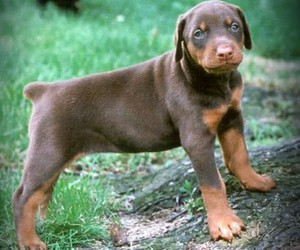 brown, puppy, and rottweiler image
