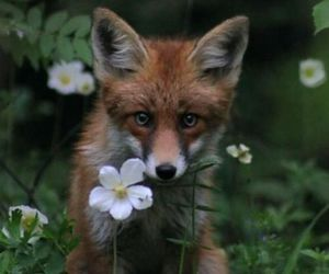 animals, fox, and cute image