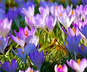cousins and crocus image