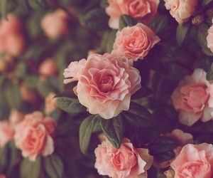 pink roses flowers image
