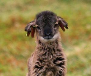 cute, lamb, and animal image