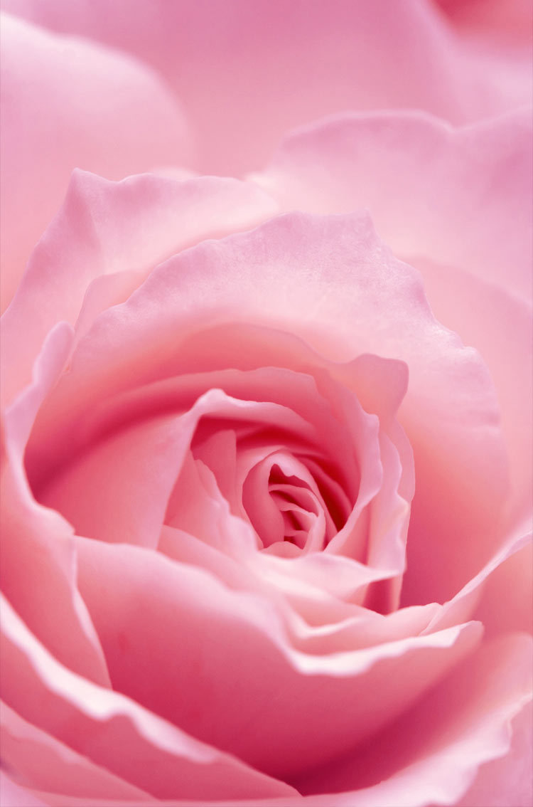 Light Pink Rose Flower Iphone Hd Wallpaper On We Heart It