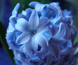 blue flowers, flower, and hyacinth image