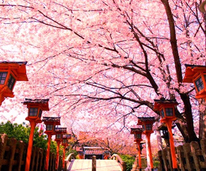 cherry blossoms image