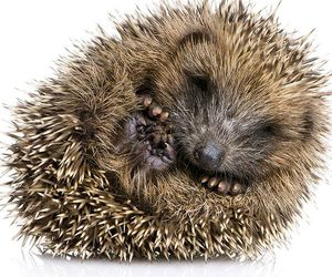 cute animals and hedgehog image