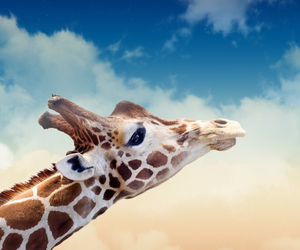 wallpaper, giraffe, and animal image
