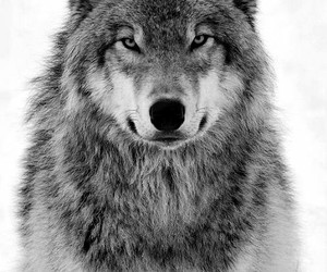 angry, wolf, and black and white image