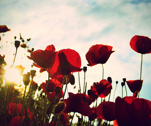 flowers, poppy, and pretty image