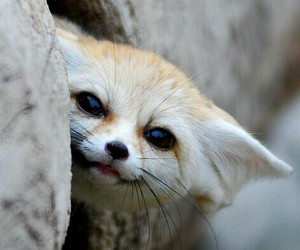 fox, animal, and fennec fox image