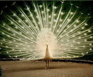 peacock, beautiful, and photography image