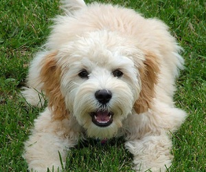 dog, cockapoo, and cute image