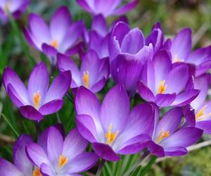 crocus, flowers, and purple image