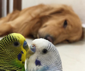 animals, birds, and budgie image