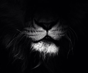 black, lion, and white image