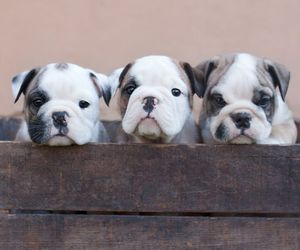 animals, sweet, and bulldog image