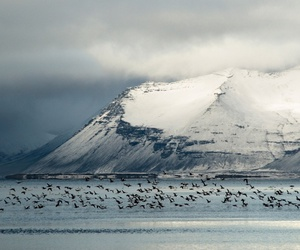 iceland, winter, and bird in flight image