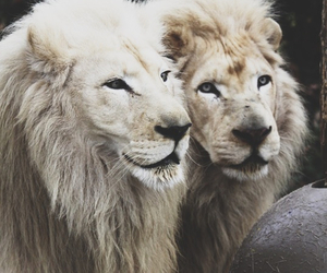 animals, lions, and beauty animals image