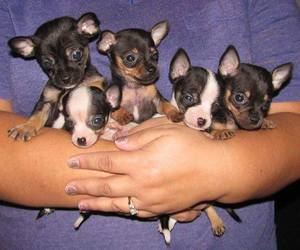 baby animals, dogs, and chihuahua image