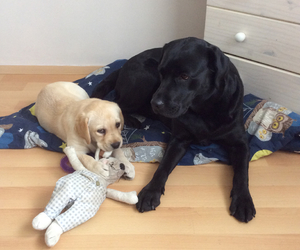 austria, labrador, and puppy image