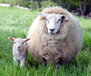 lamb image