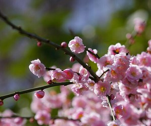 cherry blossom, flower, and nature image