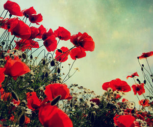 flowers, red, and poppy image