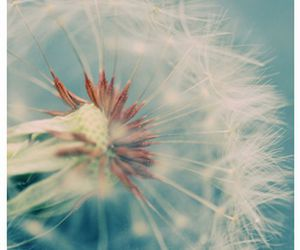 dandelion and spring image