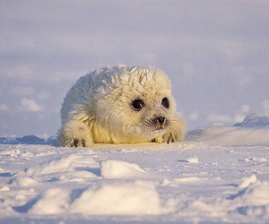 baby animals, lovely, and seal image