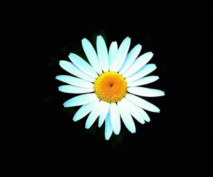 black, camomile, and flower image