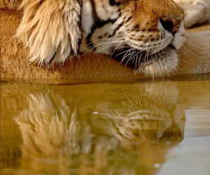 animals and tiger image