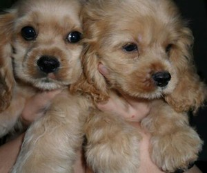 puppies, want, and american cocker spaniel image