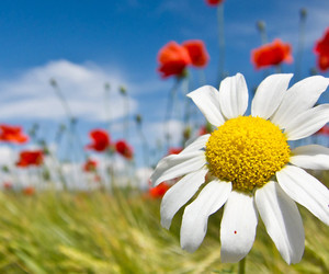 flowers, spring, and daisy image