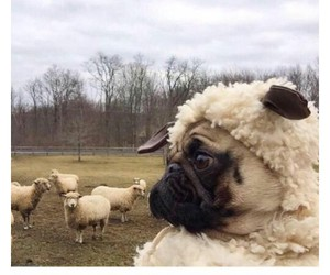 cute animals, cuteness overload, and sheeps image