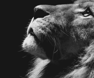 lion, photography, and black and white image