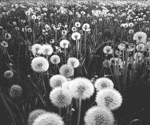 flowers, dandelion, and nature image