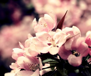 amazing, flowers, and pink image