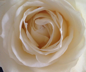 favourite, flowers, and rose image