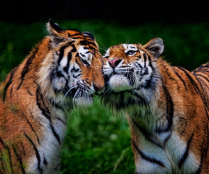 tiger, cat, and animal image