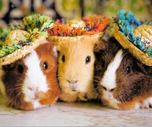 guinea pig and animal image