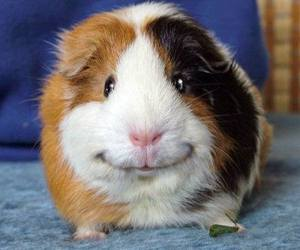 cute, smile, and guinea pig image