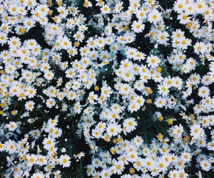 background, pretty, and daisy floral image