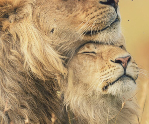 animal, lion, and love image