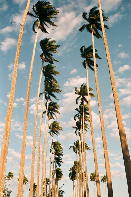Palm Trees Iphone Wallpaper Shared By Jadin Anthony