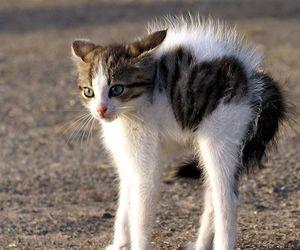 cat, chat, and poil hérissé image
