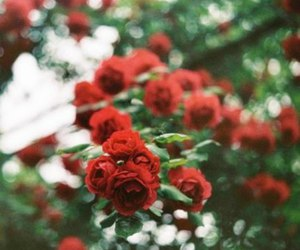 flowers, red rose, and rose image
