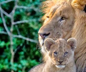 lion, nature, and cute image