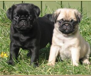 pugs and puppies image